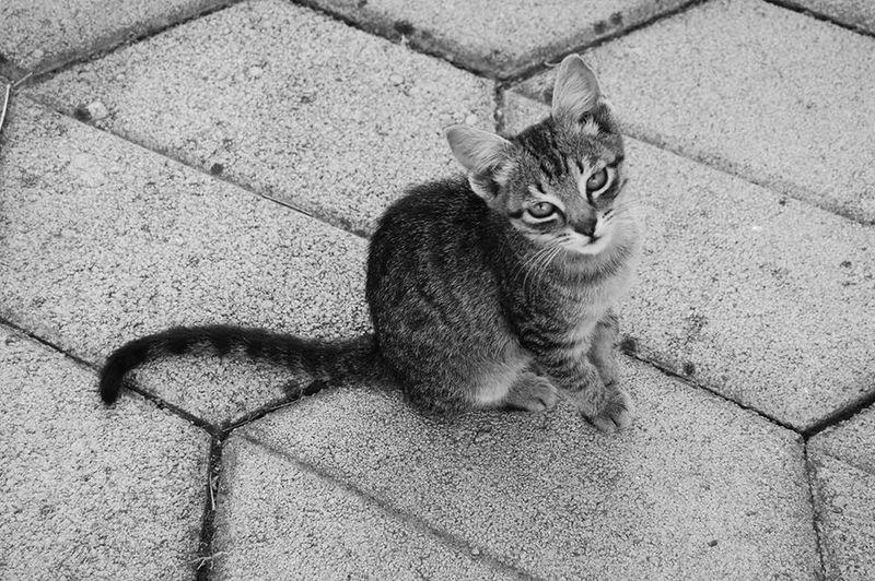 Animal Eye Blackandwhite Blackandwhite Photography Bosniancat Cat One Animal Pets