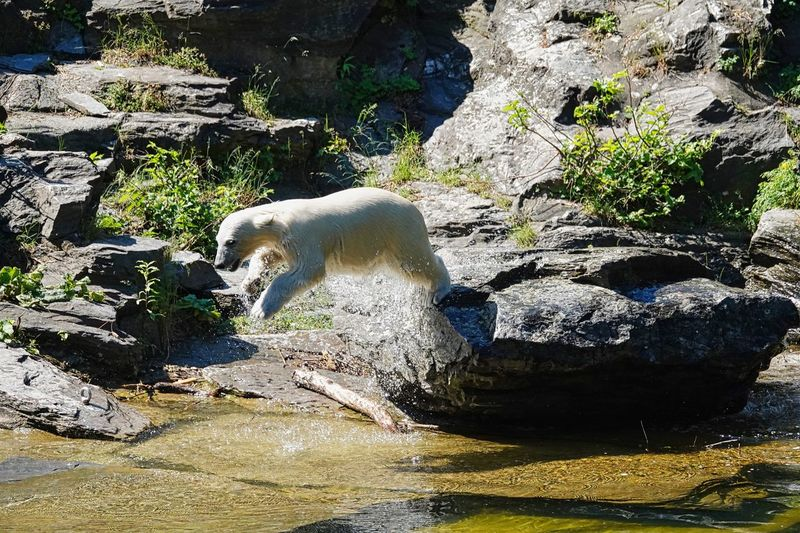 Icebear Nature Sunlight Water Day Animal Themes No People Animal One Animal Land Vertebrate Animal Wildlife Animals In The Wild Rock High Angle View Shadow Solid Plant Rock - Object Mammal Outdoors
