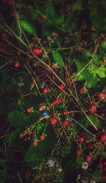 Berry Bush Berries Fruit Outdoors Nature Ripening Ripening Fruit Ripening Berries RED AND GREEN COLORS From My Point Of View From My Eyes To Yours Letgodhandleit Raspberries One Standing Out From The Others Different Be Different Just One Ahead Of The Pack Green Leaves Red Berries EyeEm Diversity Break The Mold