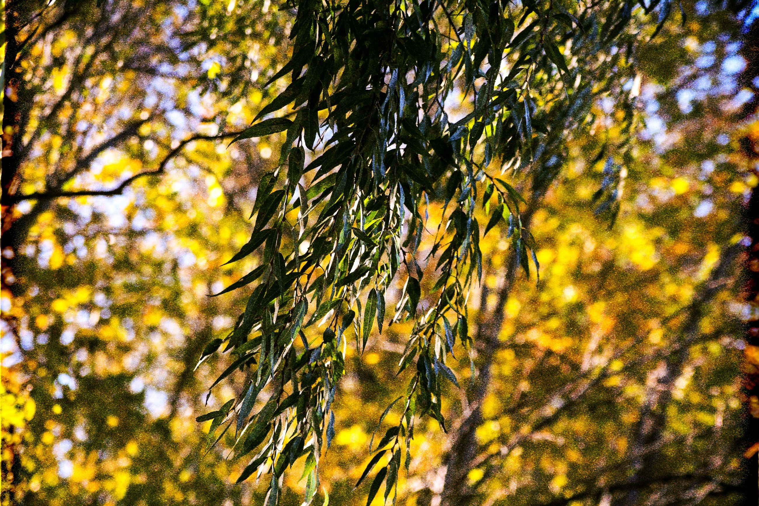 tree, plant, beauty in nature, nature, growth, branch, no people, leaf, day, plant part, focus on foreground, tranquility, green color, autumn, outdoors, close-up, selective focus, low angle view, sunlight, forest, pine tree, change, coniferous tree, tree canopy