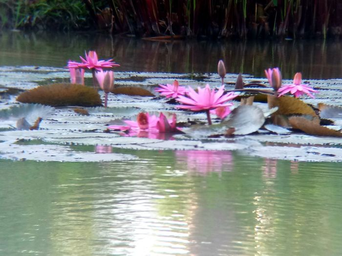 Day Flower Flower Head Lake Lotus Water Lily No People Outdoors Pink Color Plant Reflection Water Waterfront