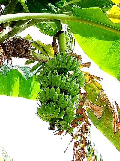 EyeEm Selects Banana Banana Tree Green Color Growth Plant Fruit And Vegetable Banana Fruit Banana Plant Plants And Garden Bananatree Fruit Trees Fruits And Vegetables Tree EyeEmNewHere