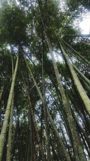 Colombia! Bamboo Bamboo Forest Pereira Colombia Pureair Green ILoveColombia  Bamboo Park Tree Bamboo - Plant Nature Forest Bamboo Grove Outdoors No People Green Color Tranquility Growth Close-up Branch Beauty In Nature Low Angle View