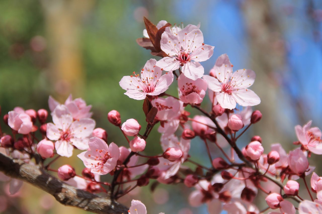 flower, fragility, beauty in nature, growth, pink color, nature, freshness, petal, blossom, springtime, botany, flower head, day, focus on foreground, tree, outdoors, close-up, no people, apple blossom, branch, twig, blooming, plum blossom