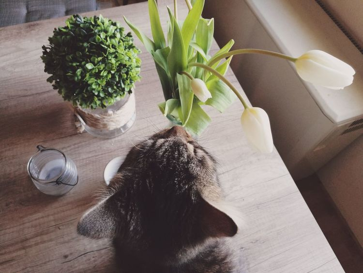Cat Cats Of EyeEm High Angle View Plant Flowers Tulips Lifestyles Eating Table Kitchen Table HuaweiP9 Huaweiphotography Lifestyle Healthy Lifestyle Decorations Decoration Arrangement Cat Head Cat Eating Cute Pet Fresh Interior Design Interior From Above