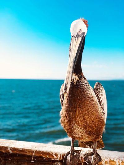Pelican Water Sea Animal Themes One Animal Animal Vertebrate Sky Horizon Over Water No People Animal Wildlife Focus On Foreground Beach Sunlight Horizon Beauty In Nature Bird Outdoors Land Nature Day