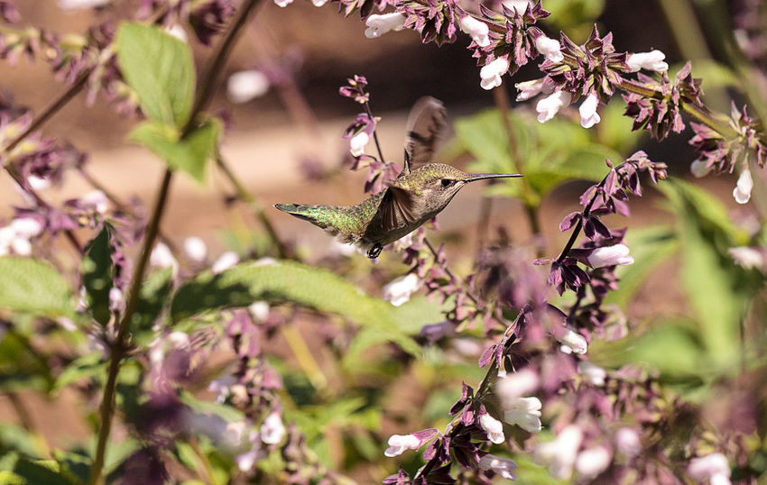 Male Annas Hummingbird, Calypte anna, feeds off nectar in flowers Southern California, United States. Animal Themes Annas Hummingbird Beauty In Nature Calypte Anna Close-up Day Flower Flowers Fragility Freshness Garden Growth Hummingbird Nature Nectar Nectaring No People Outdoors Plant