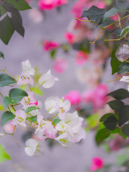 The planet we live that is amazing, beautiful, and full of wonder. Flower Head Flower Tree Branch Leaf Springtime Pink Color Pastel Colored Petal Blossom