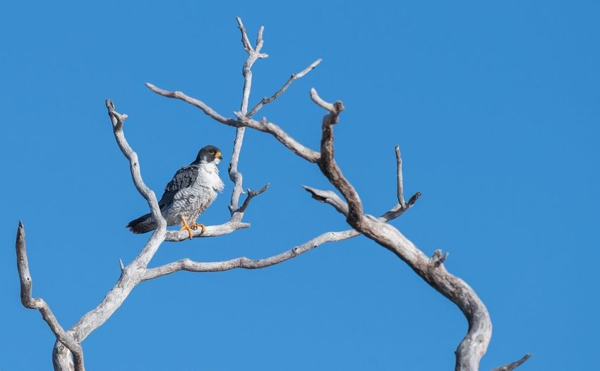 Peregrine falcon New Jersey Palisades Interstate Park Falcon Peregrine Bird Perching Animals In The Wild Blue Animal Wildlife Animal Themes Tree No People Sky Mourning Dove Branch Bare Tree Nature Clear Sky Day Outdoors Bird Of Prey