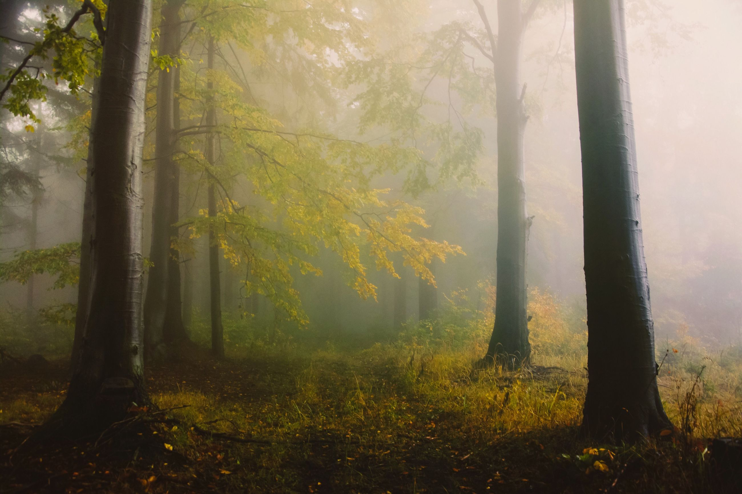 tree, tree trunk, tranquility, forest, fog, growth, tranquil scene, woodland, nature, landscape, foggy, beauty in nature, scenics, grass, field, non-urban scene, sunlight, day, branch, no people