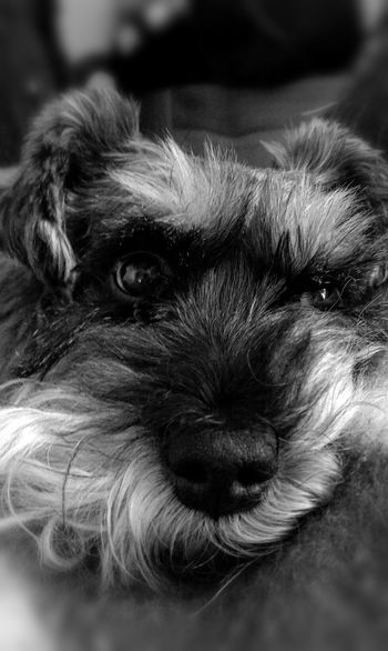 Dog Pet Photography  Animals Fluffy Black And White Weeklyfluff The EyeEm Facebook Cover Challenge Pet Portraits