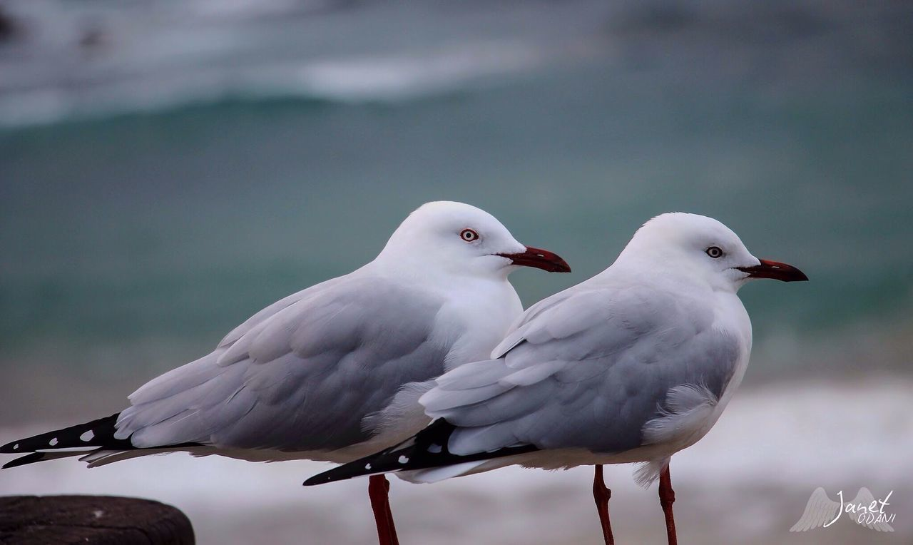 CLOSE-UP OF SEAGULLS PERCHING ON A BIRD