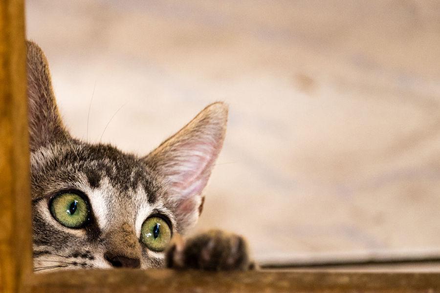 Close-up Domestic Animals Domestic Cat Feline Kitten One Animal Pets Playful Cat