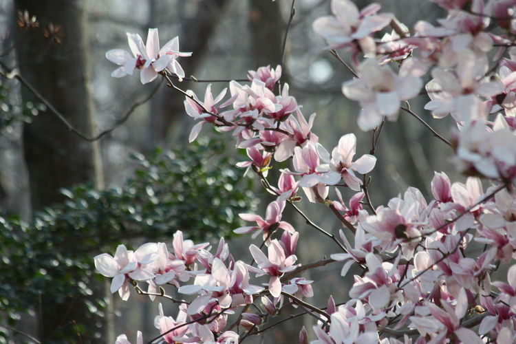 Plant Flowering Plant Flower Freshness Growth Fragility Vulnerability  Beauty In Nature Petal Tree Blossom Pink Color Close-up Day Springtime Nature Branch Flower Head Inflorescence Twig No People Cherry Blossom Outdoors Cherry Tree Plum Blossom