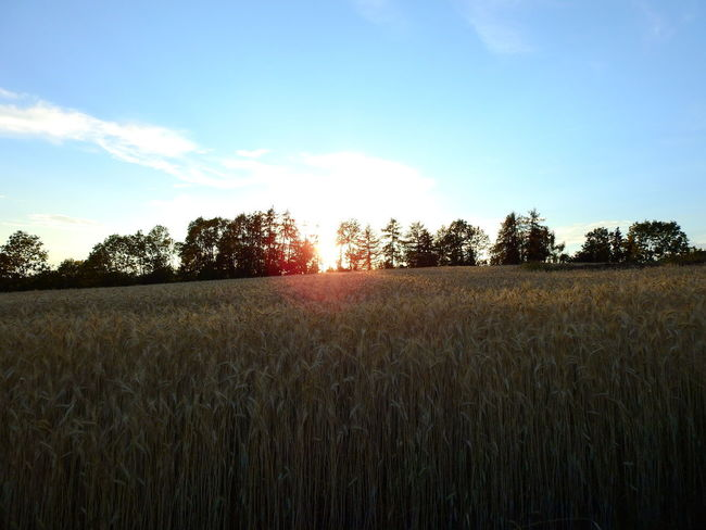 Agriculture Beauty In Nature Cereal Plant Cloud - Sky Crop  Environment Field Growth Land Landscape Lens Flare Nature No People Outdoors Plant Plantation Rural Scene Scenics - Nature Sky Stalk Sunlight Tranquil Scene Tranquility Tree