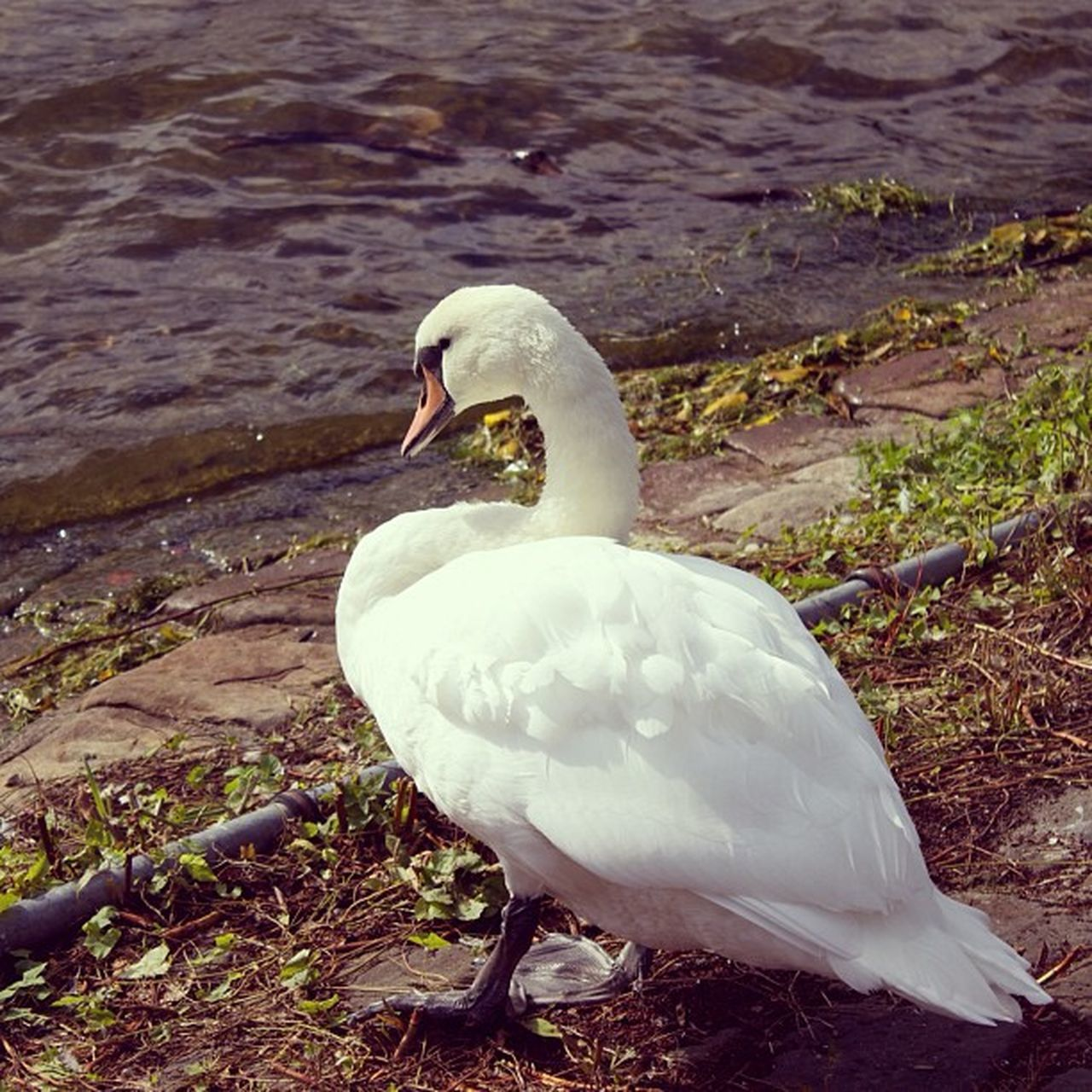 animals in the wild, animal themes, one animal, bird, lake, white color, swan, day, water, water bird, nature, animal wildlife, beak, outdoors, no people, close-up, swimming, beauty in nature