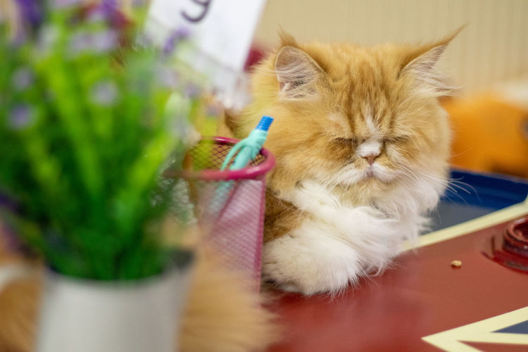 Cat relaxing on table