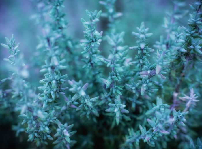 Thymian Herbal Thyme Thymian Plant Backgrounds Nature Full Frame No People Close-up Beauty In Nature Growth Selective Focus Cold Temperature Winter Day Fragility Green Color Freshness Vulnerability  Outdoors