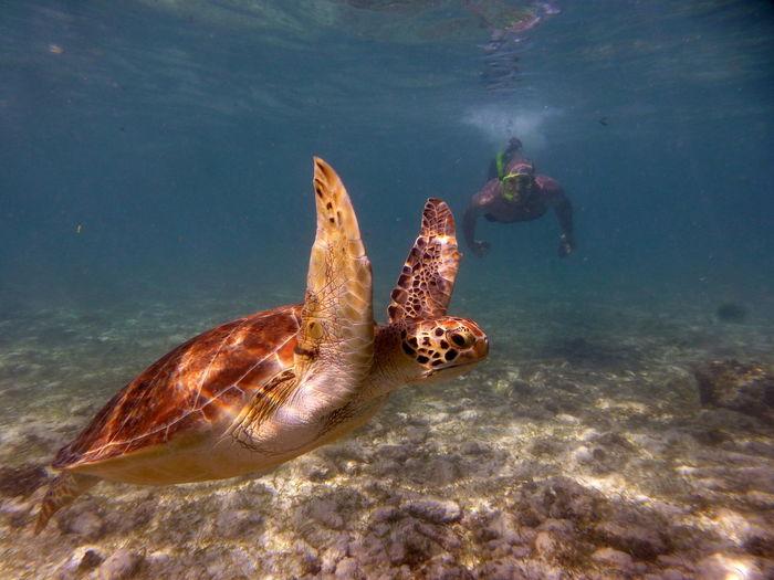 Man swimming by hawksbill turtle undersea