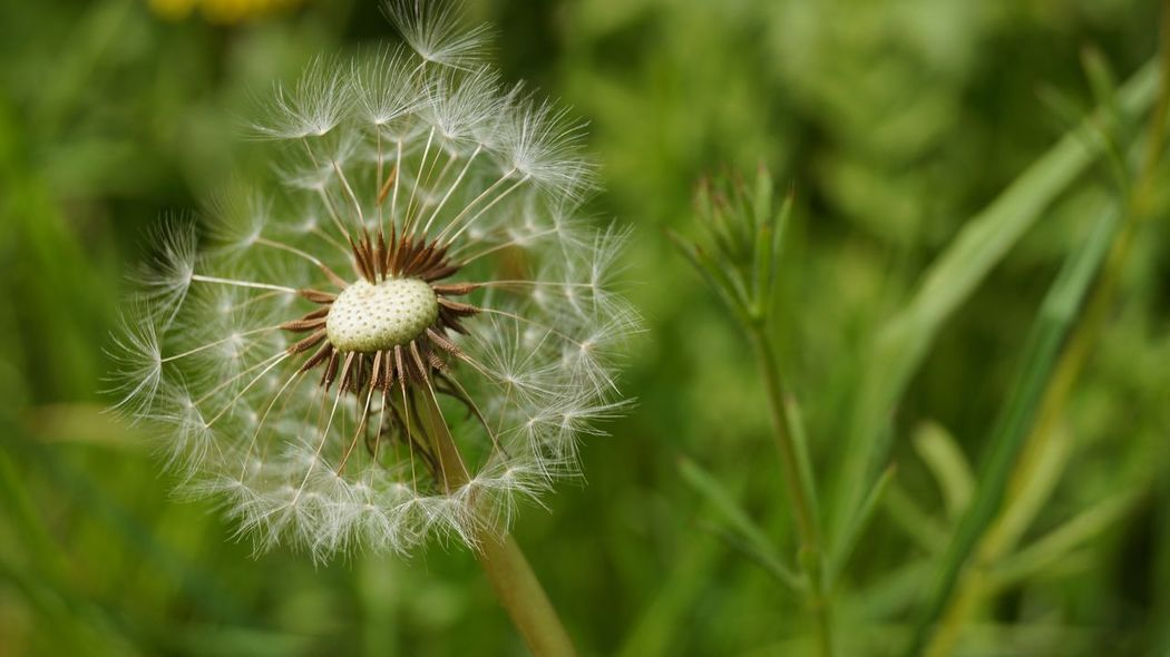Beauty In Nature Blooming Blossom Botany Close-up Dandelion Flower Flower Head Focus On Foreground Fragility Freshness Growth In Bloom Nature No People Outdoors Petal Plant Seed Head Selective Focus Softness Stem Uncultivated White Color Wildflower