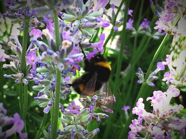 Hummel Bumblebee Humble-bee Bumblebee On Flower Tiere Tiere/Animals Animals Nature Natur Nature Photography IPhoneography Check This Out First Eyeem Photo What A Wonderful World Taking Photos