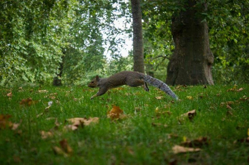 Squirrel Animal Photography Hyde Park Jumping Squirrel