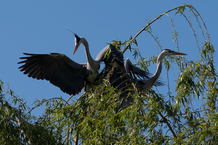 Low angle view of gray heron flying against sky