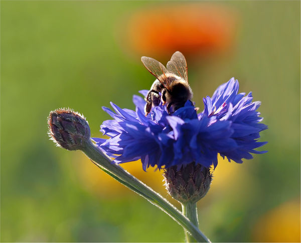 Bee 🐝 Biene 🐝 Kornblumen Old Lens Photo Primoplan Animal Themes Animal Wildlife Animals In The Wild Bee Close-up Cornflower Blue Day Flower Flower Head Focus On Foreground Insect Kornblume Meyer Görlitz Nature No People One Animal Outdoors Plant