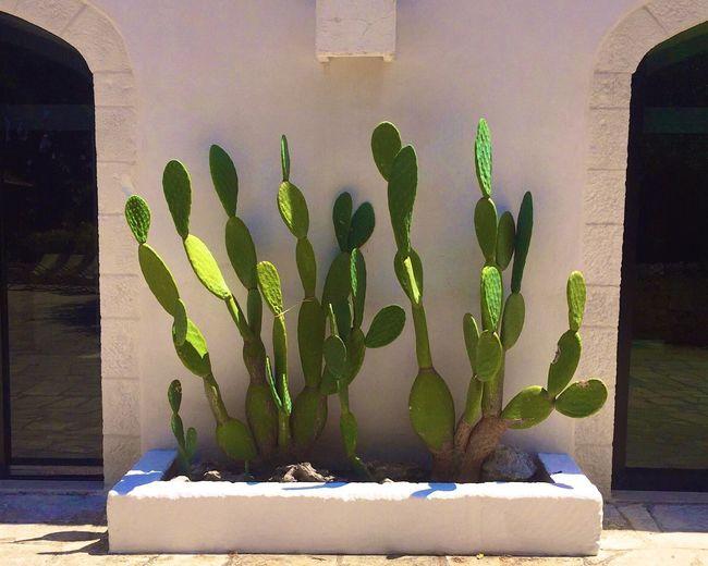 Apúlia Cactus Cactus Flower Green Ostuni