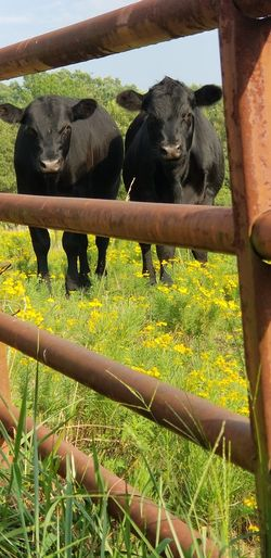 this is what I would think mad cow would look like From Where I Stand Thru The Fence Country Life Rural Scenes Sunshine Day American Bison Rural Scene Agriculture Grazing Field Grass Sky Livestock Calf Domestic Cattle Cow Cattle Farm Animal Livestock Tag