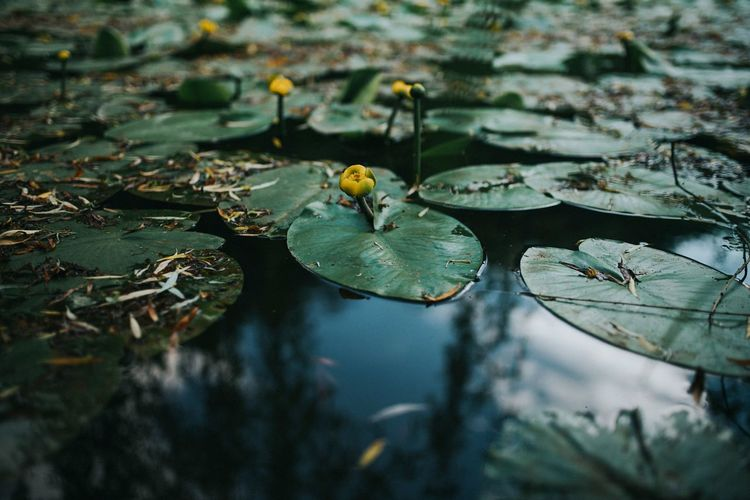 Close-up of water lilies in lake