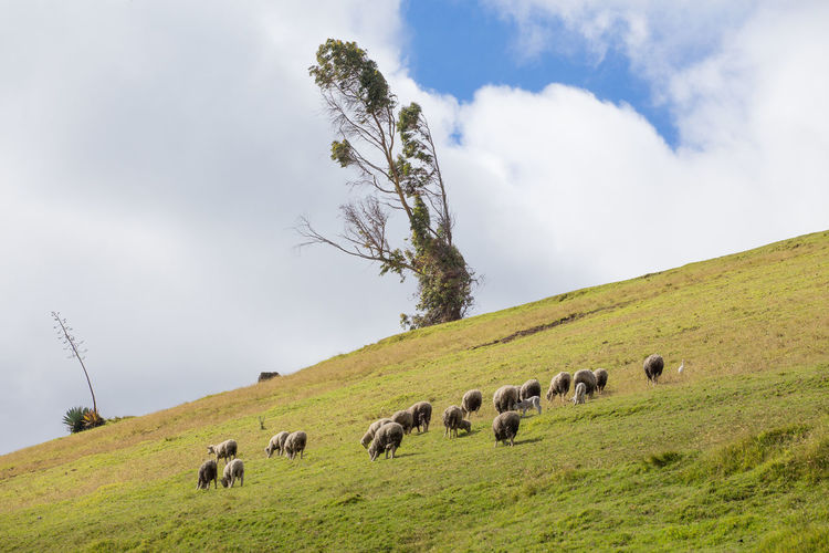 A herd of sheep in the Andes mountains. Lamb Animal Animal Themes Beauty In Nature Cloud - Sky Domestic Domestic Animals Environment Field Grass Group Of Animals Herbivorous Herd Land Landscape Large Group Of Animals Livestock Mammal Nature No People Plant Rural Scene Sheep Sky Vertebrate