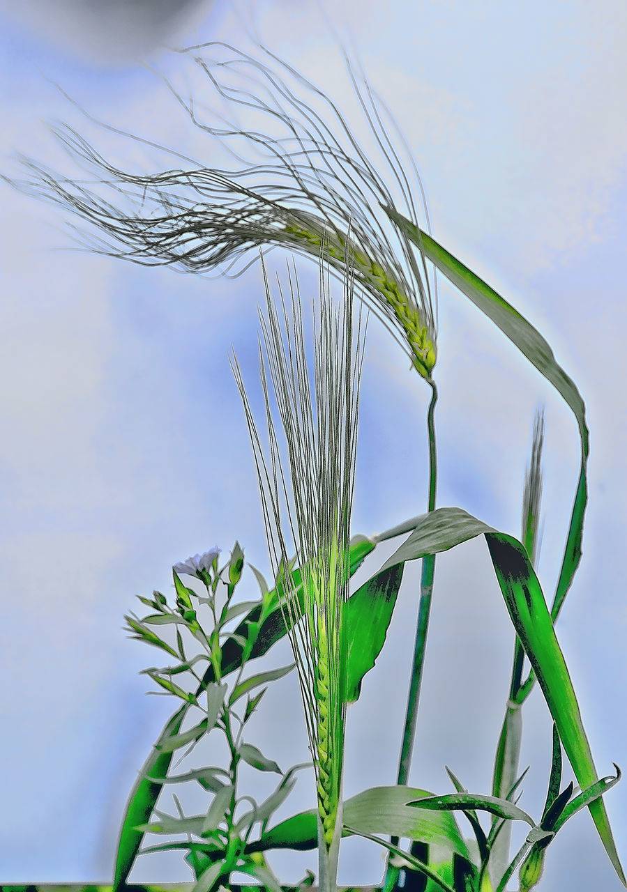 growth, nature, cereal plant, plant, close-up, ear of wheat, green color, day, wheat, no people, sky, agriculture, outdoors, beauty in nature, freshness, food, fragility