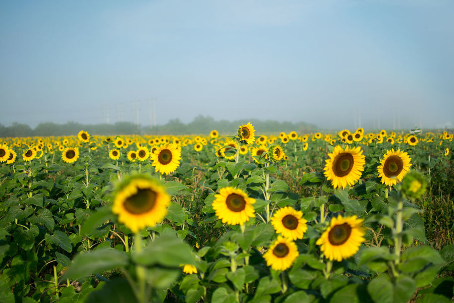 Agriculture Calm Field Flower Collection Flowers Fog Foggy Fresh Air Morning Morning Light Nature Nature Photography Nature_collection Outdoors Peaceful Sunflower Wonderful Yellow Paint The Town Yellow