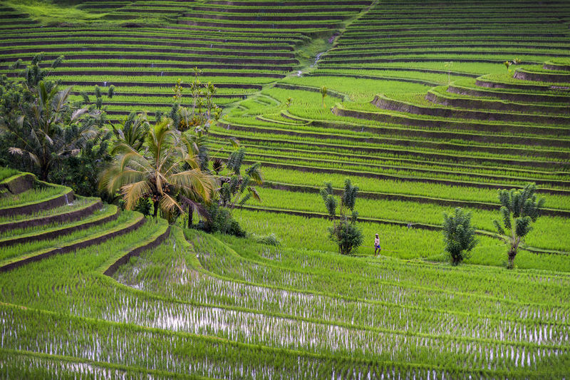 Bali Rice Fields. The village of Belimbing boast some of the most beautiful rice terraces in all of Indonesia. If you walk down into the bottom you can almost get lost in a different world. The verdant green is somewhat of a sensory overload. The worker down below can give you an idea of scale. Agriculture ASIA Asian  Asian Culture Bali Bali, Indonesia Beauty In Nature Field Green Color INDONESIA Indonesia_photography Landscape Man Nature Rice Rice Field Rice Paddy Rice Terraces Ricefield Rural Scene Scenics Terraced Field Tranquil Scene Worker Working