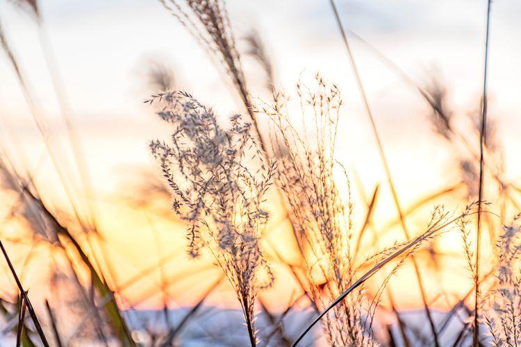 Rye - Grain