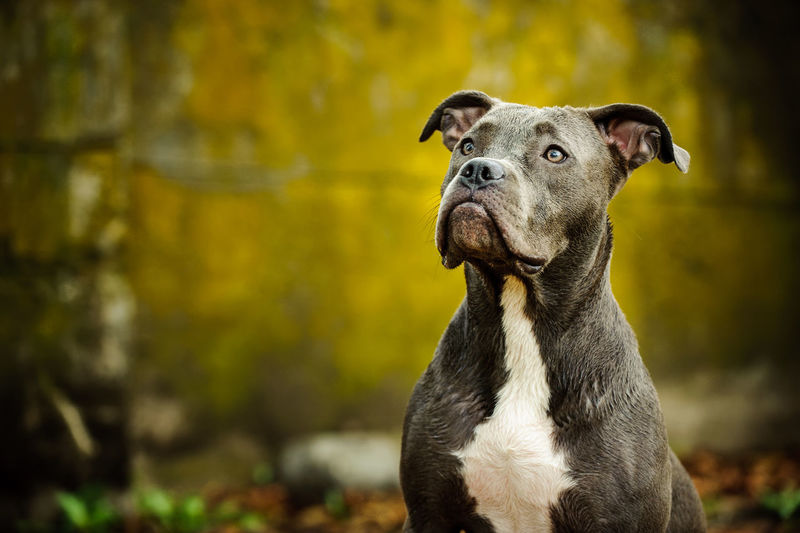 American Pit Bull Terrier dog American Pit Bull Terrier Apbt Breed Specific Legistlation, Day Dog Dog, Grunge Pit Pit Bull Pitbull