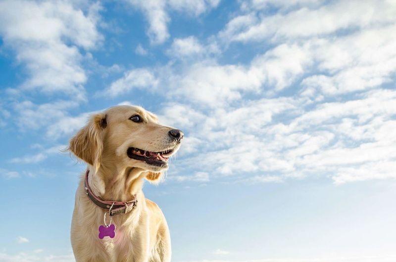 Low Angle View Of Golden Retriever Against Sky