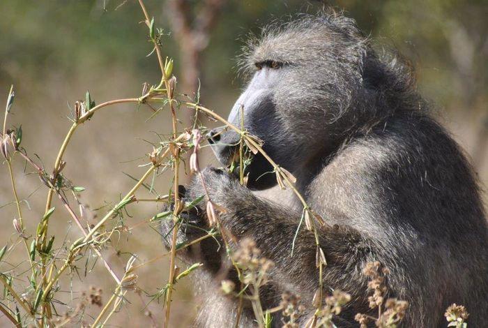 Nature baboon Krugernationalpark Monkey