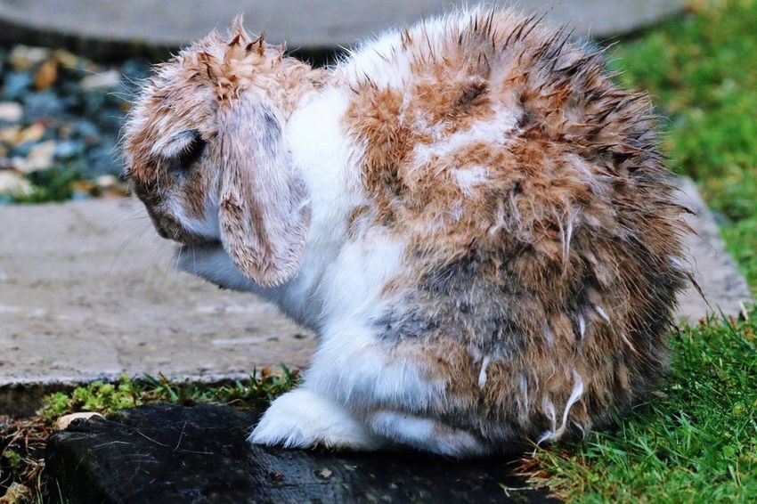 Rabbit Rabbits 🐇 Wet Rabbit Rabbit ❤️ Pray Praying Praying For World Peace Praying Hands Prayertime Cute Animals Wet Animals Cute Pets Cute Rabbit Beautiful Bunny Bunny Rabbit Animal Standing Up Emotion Animal Emotion Human Emotion Spiky Hair Bad Hair Day Wet Hair Wet Fur Spikey Hair Spiked Hair