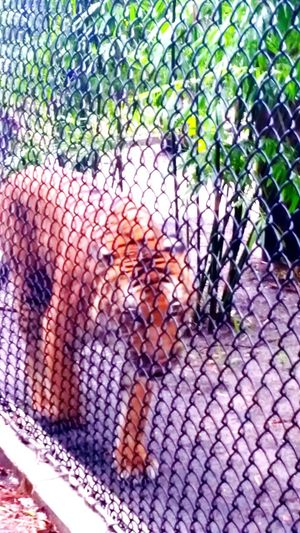 A tiger! Animals Tiger Tigers Zoo ZOO-PHOTO Zoo Day Zoo! Zoo Animals