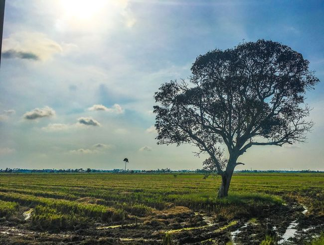 Sawah padi. Sky Field Nature Cloud - Sky Beauty In Nature Growth Tree Landscape Agriculture Grass Rural Scene