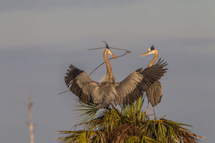 Animal Wildlife Animals In The Wild Ardea Herodias Beauty In Nature Bird Bird Photography Courting Couple Great Blue Heron Nature Nature Photography No People Wildlife & Nature Wildlife Photography