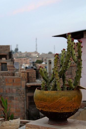 Cactus From My Point Of View Buildings Jaisalmer Rajasthan India Traveling Outdoors Taking Photos OpenEdit