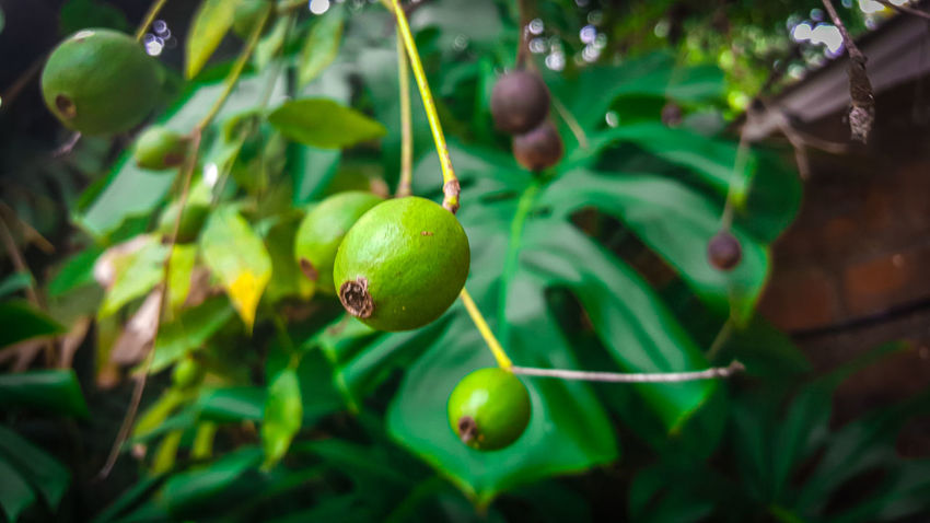 Beauty In Nature Fruit Green Color Growth Leaf Nature Plant Tree