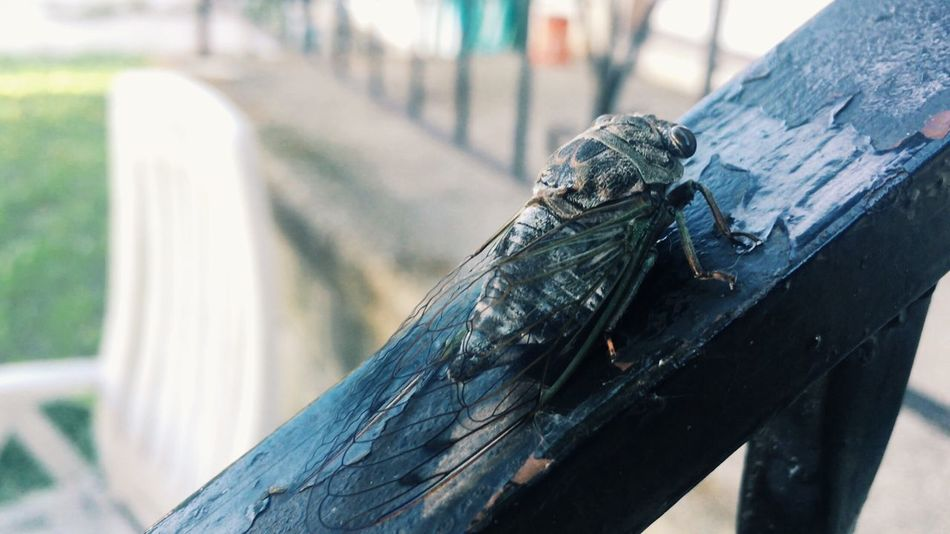 Another Cicada 💕 Bug Love Close-up Wildlife Cicada Outdoors Chemical Valley Beauty In Nature Morning Sarnia Hidden Gems