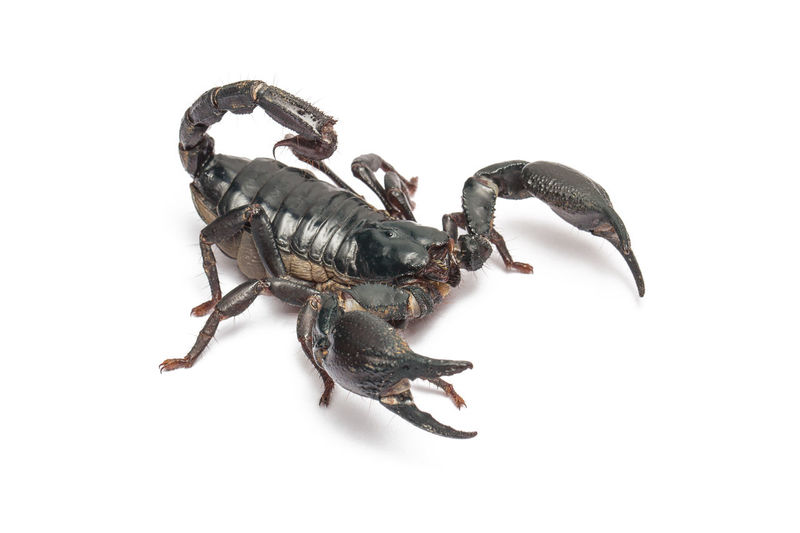 Scorpion isolated on white background Studio Shot White Background Animal Themes Animal Invertebrate Insect One Animal Arthropod Cut Out Indoors  Animal Wildlife Close-up No People Scorpions Isolated White Background Scorpion ASIA Claw Forest Poisonous Black