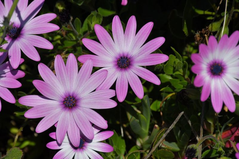 African Daisy Flowering Plant Flower Plant Freshness Fragility Growth Petal No People Nature Purple Focus On Foreground Close-up Pink Color Day Beauty In Nature Flower Head Inflorescence Vulnerability  Osteospermum