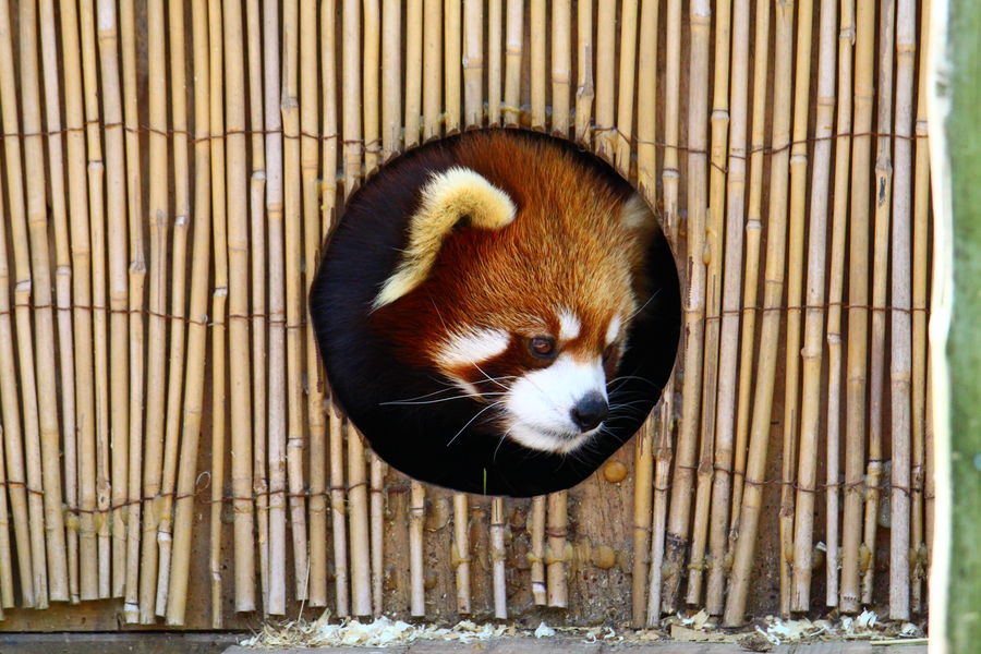 Animal Themes Cage Close-up Day Domestic Animals Mammal No People One Animal Outdoors Panda - Animal Pets Raccoon Red Panda Trapped Whisker Wood - Material