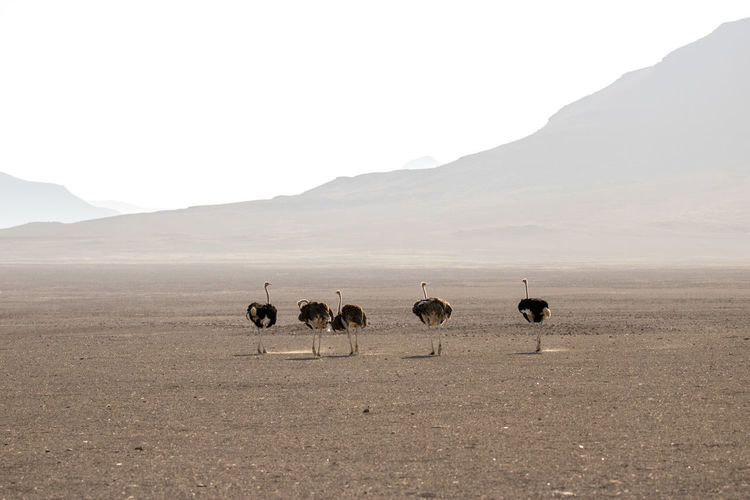 Ostriches standing on sand at desert against clear sky